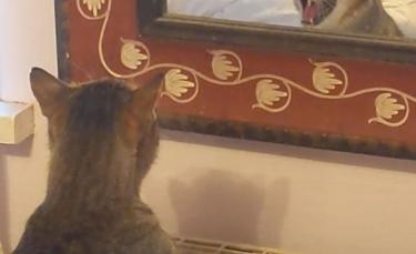 """Illustration : """"Une femme amusée filme son chat grognant contre son reflet dans le miroir (vidéo)"""""""