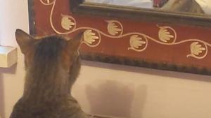 Illustration : Une femme amusée filme son chat grognant contre son reflet dans le miroir (vidéo)