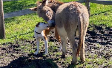 """Illustration : """"Un Pitbull se lie d'amitié avec un âne"""