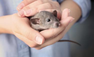 """Illustration : """"Comment jouer avec un rat ?"""""""