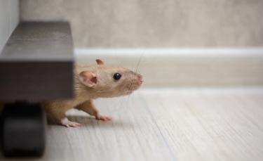 """Illustration : """"Les troubles du comportement chez le rat"""""""