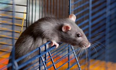 "Illustration : ""Nettoyer la cage du rat"""