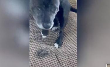 """Illustration : """"Un American Staffordshire Terrier prend sous son aile un oisillon tombé du nid (vidéo)"""""""