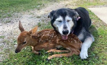 """Illustration : """"Une chienne et son propriétaire aident et réconfortent un faon malade"""""""