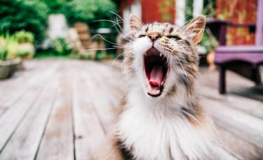 """Illustration : """"La phytothérapie pour traiter les problèmes dentaires du chat"""""""