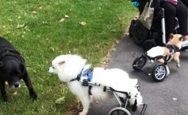 """Illustration : """"Découvrez l'histoire de cette amoureuse des chiens handicapés qui dédie sa vie pour leur venir en aide"""""""