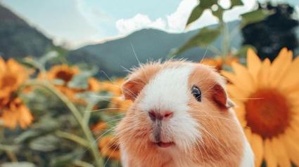 Illustration : 16 cochons d'Inde faisant le bonheur de leur propriétaire