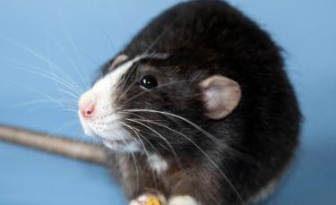"""Illustration : """"14 photos prouvant que les rats domestiques sont des compagnons charmants"""""""