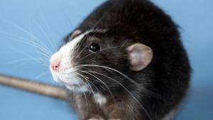 Illustration : 14 photos prouvant que les rats domestiques sont des compagnons charmants