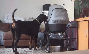 """Illustration : """"Le geste touchant d'un chien pour réconforter un bébé en pleurs (vidéo)"""""""