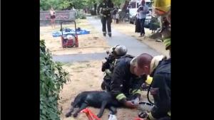 """Illustration : """"Le dévouement sans faille des secouristes pour sauver la vie d'un Labrador victime d'un incendie (vidéo)"""""""