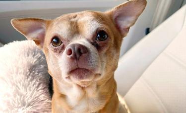 """Illustration : """"Prancer, le Chihuahua connu pour être un « Chuky démoniaque, asocial et possessif », a changé la vie de sa nouvelle propriétaire"""""""