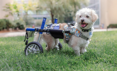 """Illustration : """"La joie d'un petit chien paralysé qui apprend à se déplacer grâce à un chariot"""""""