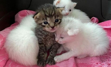"""Illustration : """"Blessés et orphelins, ces 4 chatons restent soudés et se battent pour survivre ensemble"""""""