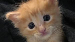 Illustration : Un chaton errant âgé de quelques jours se transforme en un chat épanoui avec l'aide d'une famille d'accueil