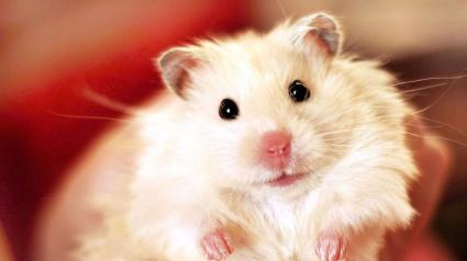 Illustration : 18 photos de hamsters qui vous mettront de bonne humeur