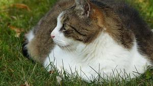 Illustration : Royal Canin dévoile une enquête alarmante sur le surpoids des chats et se mobilise contre ce phénomène