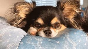 Illustration : 20 photos de Chihuahuas pour lesquels chaque jour est synonyme de dolce vita