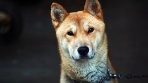 """Illustration : """"Le président sud-coréen annonce vouloir mettre un terme à la consommation de viande de chien dans son pays"""""""