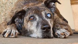 Illustration : Âgé, aveugle et amputé d'une patte, ce chien a passé 10 ans dans un refuge avant de rencontrer son âme soeur