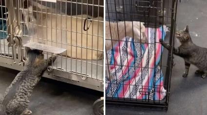 Illustration : Une chatte recueillie par le personnel d'une clinique vétérinaire insiste pour caresser tous les patients (vidéo)