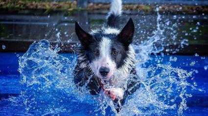 Illustration : 12 photos d'un jeune Border Collie qui profite chaque jour d'une bonne baignade