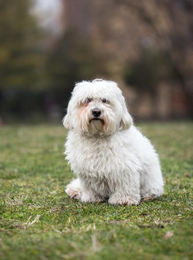 Photo : chien de race Coton de Tuléar sur Woopets