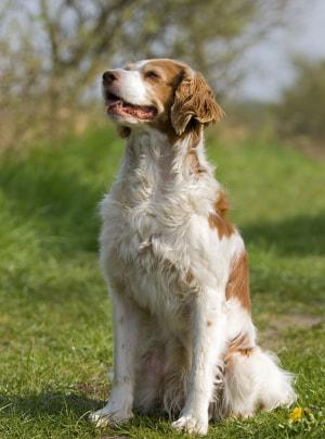 Photo : chien de race Epagneul Breton sur Woopets