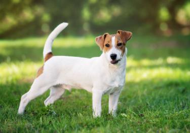 Photo : chien de race Jack Russell Terrier sur Woopets