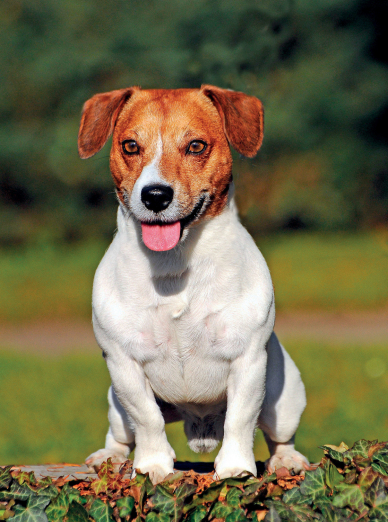 "Illustration de la race ""Jack Russell Terrier"""