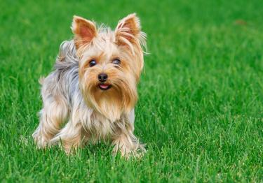 Photo : chien de race Yorkshire Terrier sur Woopets