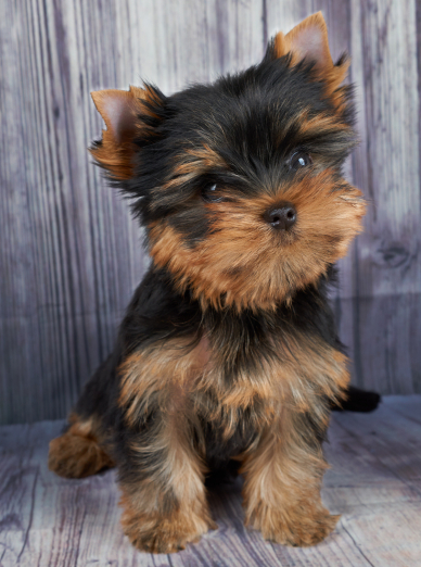 Photo : chien de race Yorkshire Terrier sur Woopets