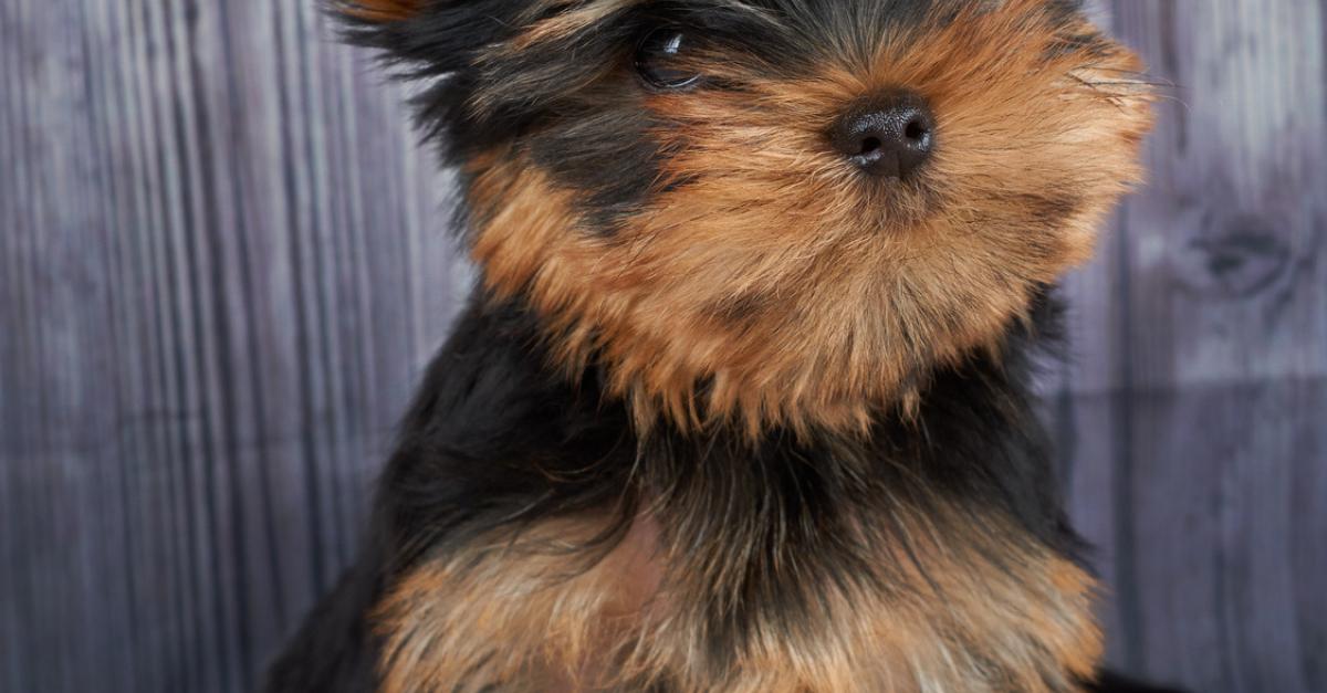 Yorkshire Terrier Caractere Sante Alimentation Prix Et Entretien