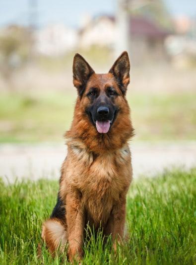 Photo : chien de race Berger Allemand sur Woopets