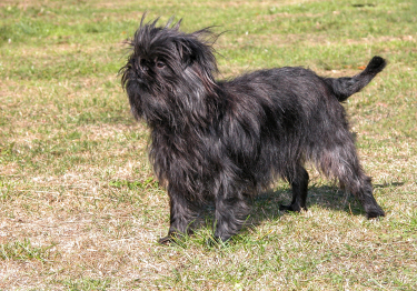 Photo : chien de race Affenpinscher sur Woopets