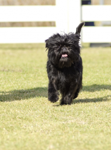 Photo : chien de race Affenpinscher sur Woopets