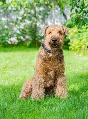 Photo : chien de race Airedale Terrier sur Woopets