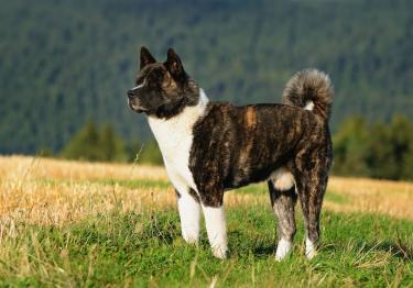 Photo : chien de race Akita Américain sur Woopets