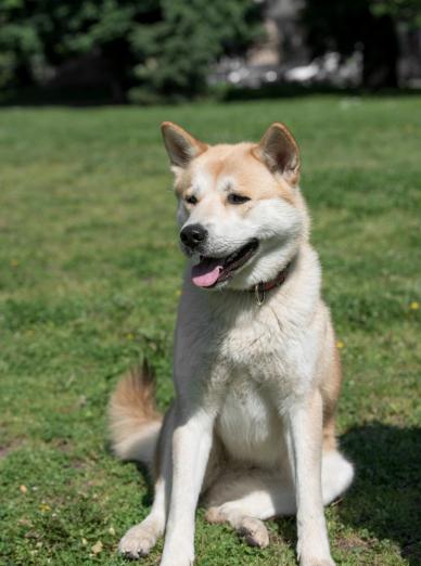 Photo : chien de race Akita Inu sur Woopets