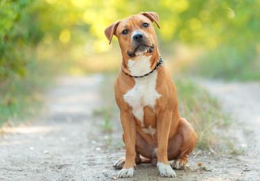 Photo : chien de race American Staffordshire Terrier sur Woopets