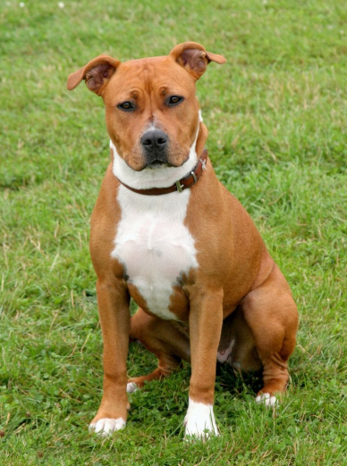 Photo : chien de race American Staffordshire Terrier sur Woopets