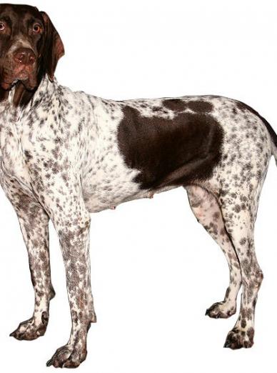 """Illustration de la race """"Ancien chien d'arrêt danois"""""""