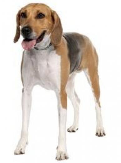 Photo : chien de race Anglo-Français de Petite Vènerie sur Woopets