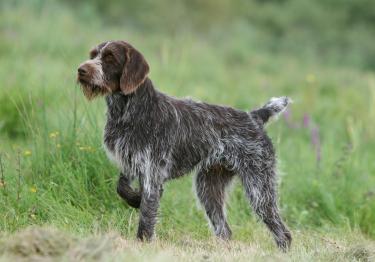 Photo : chien de race Barbu Tchèque sur Woopets