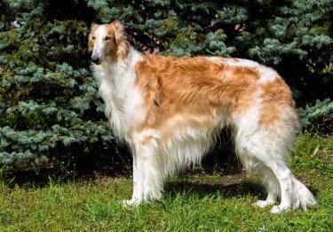 Photo : chien de race Barzoï sur Woopets