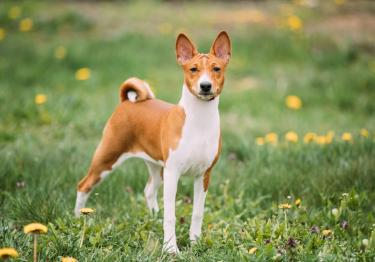 Photo : chien de race Basenji sur Woopets