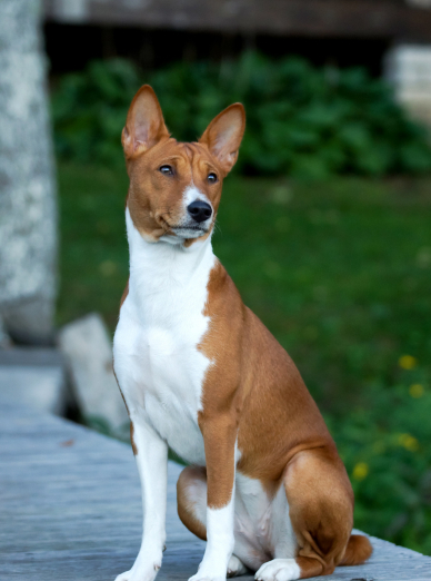 Photo : chien de race Basenji sur Woopets