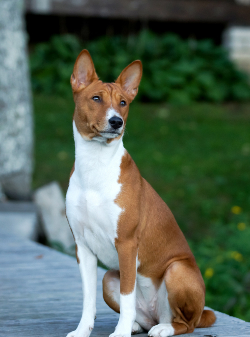 "Illustration de la race ""Basenji"""