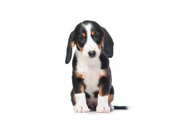 Photo : chien de race Basset de Westphalie sur Woopets