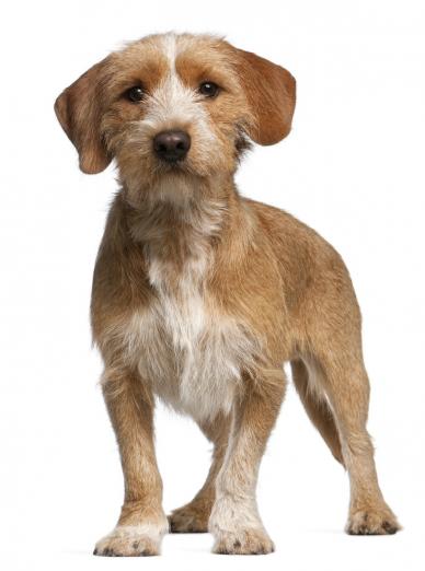 Photo : chien de race Basset Fauve de Bretagne sur Woopets